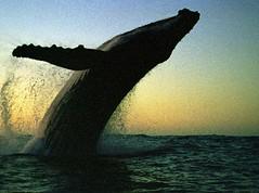 Baleia Jubarte por Canal Petrobras