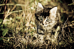Lost in the wood II (Marc Benslahdine) Tags: animal animals cat automne chat bokeh pierre couleurs vert oeil yeux foret rocher mouette pattes lightroom chaton etang poils herbes bbchat canonef70200mmf4lusm montfermeil canoneos50d portraitanimalier coubron marcopix marcbenslahdine fortdomainialedebondy marcopixcom