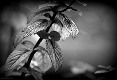 (andrewlee1967) Tags: leaf mint wet nature bw blackandwhite canon50d sigma18200mm andrewlee1967 andrewlee dof bokeh mywinners