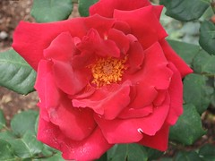 Rose at Ooty