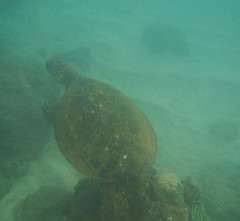 snorkel maui turtle-jun07-4