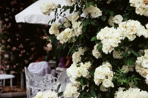 Whisper of white roses