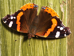 """Red Admiral Butterfly (Vanessa atala(17) • <a style=""""font-size:0.8em;"""" href=""""http://www.flickr.com/photos/57024565@N00/683022432/"""" target=""""_blank"""">View on Flickr</a>"""
