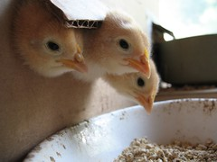 Chicken Farmers Profile Lex