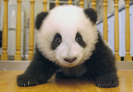 cute animal panda wallpapers images