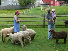 cassie and eric feed sheep with charlotte (alist) Tags: sheep