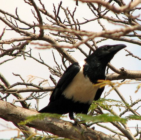 Pied Crow kili airport