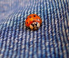 Ladybug (sbuliani) Tags: red nature lady bug insect lumix panasonic explore jeans ladybug stefano abigfave dmcfz50 anawesomeshot ultimateshot buliani sapessi stefanobuliani