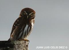 Chuncho - Austral pigmy owl - (Glaucidium nanum) (Bosque Austral) Tags: chile bird animals fauna aves bosque chilo temperaterainforest glaucidium fbwnewbird fbwadded glaucidiumnanum australpygmyowl glaucidiumnana