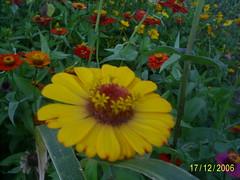 flores 01 nilceia Gazzola (20) (nilgazzola) Tags: brasil de foto sp fotos ou com nil minhas tirada maquina echapora gazzola nilgazzola