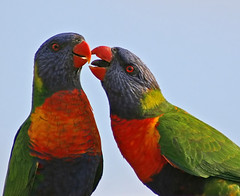 Give us a kiss Sweetie (aussiegall) Tags: bird fly beak feathers lorikeet australia rainbowlorikeet