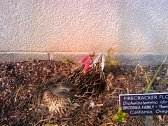 Duck nesting in firecracker flower bed, National Garden