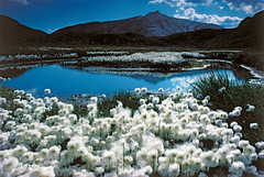 Cotton grass fields (Eriophorum) on the Greina plateau (MySwitzerland.com) Tags: mountain lake mountains alps berg montagne alpes schweiz switzerland see lakes lac berge lacs alpen seen ch montagnes stxy