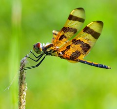 Hangin' on by a thread (ChinaLeft) Tags: macro green nature dragonflies dragonfly tiger insects bugs pennants halloweenpennant 100commentgroup