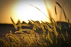 All that glitters (Fehd Siddique) Tags: sunset plants sun silhouette 50mm golden nikon unidentifiedplant fields botanics d90 14d