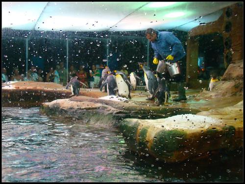 Pingüinos comiendo