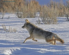 Snow Coyote (Dave Stiles) Tags: coyote wildlife yellowstonenationalpark yellowstone stiles canislatrans specanimal animalkingdomelite yellowstonewildlife wintercoyote