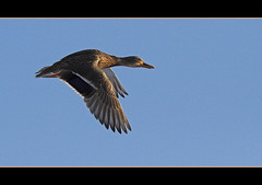 - Flying - (teliko82) Tags: bird nature fauna ilovenature flying duck topv333 topc75 ente vogel canon70200f4l musictomyeyes ilmenau naturesfinest straightfromcamera 333v3f 10faves flickrstars flickrspecial flickrsmileys abigfave anawesomeshot flickrhearts amazingshots superbmasterpiece avianexcellence excellenceinavianphotography theothervillage globalvillage2 flickrbronzeaward lunarvillage peoplesschoice natureonitsbest heartawards ultimategold flickrsun teliko platinumheartawards flickrsheaven flickrroseawards spiritofphotography