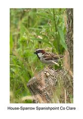 Tree - Sparrow (Gerry Horan) Tags: ireland house bird birds nikon clare sparrow d200 spanishpoint treesparrow