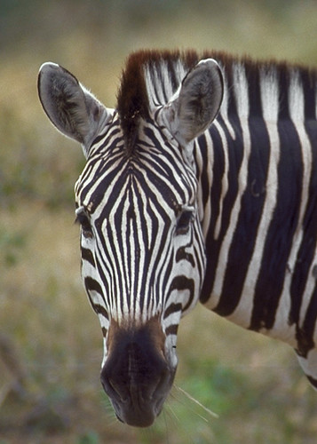 MaraA Zebra