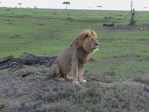 Mara Lion Sitting