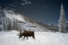 IR moose (sudweeks) Tags: utah d70 moose basin infrared alta albion sigma1850mmf28 d70ir utphotosafari21