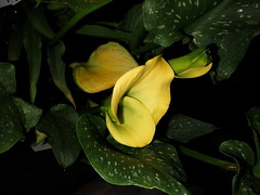 Calla Lily (Kodamakitty) Tags: yellow callalily