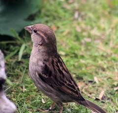 The grass is always greener.... (foxypar4) Tags: house green grass female garden scotland lawn sparrow mystreet housesparrow passerdomesticus sutherland dornoch