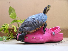 TURTLE LOVES CROC (Novella Regalini) Tags: pet turtle explore croc faves tartaruga loveis lovefool 50faves 5074 amoreimpossibile abigfave 5074faves colorphotoaward crocrus naturewatcher platinumheartaward trevisoeprovincia thegoldendreams