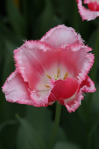 Serrated Edged Pink Tulip