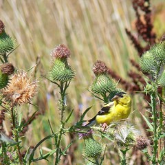 Goldfinch Feasting (Jeannot7) Tags: bird thistle goldfinch seeds naturesfinest bullthistle featheryfriday specanimal