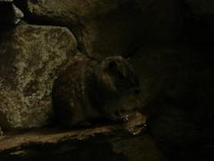 Rock cavy (Dr. Cube's minion # 102567) Tags: nicole karen chinchilla fungus sloth nationalzoo monkeys hedgehog dizzy degu rodents fonz nakedmolerats fennecfox lemures smallmammalhouse prairydogs smallclawedotters sept252007 nationalzoo2007