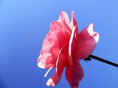 Delicate Pink (Luigi Strano) Tags: flowers roses flores nature rose fleurs flor blossoms blumen blooms fiori blommor bungabunga maua roza bloemen blomster bulaklak hoa flors iekler  flori  kvtiny  naturesfinest  geles lule virgok blom kukat fior cvijee lilled blomme viragok    ziedi   kbetki kuety