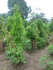 Yam Plant