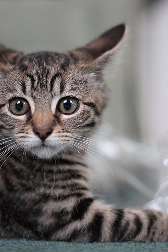 cute rescued tabby kitten alert