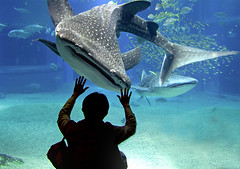 The Encounter (yushimoto_02 [christian]) Tags: fish japan fauna aquarium shark sub  whale nippon osaka whaleshark hai wal  kayukan saka  walhai colorphotoaward