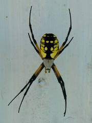 Halloween Spider (Misty DawnS) Tags: black nature yellow bug insect spider arachnid naturephotography gardenspider
