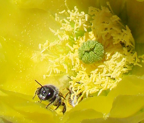 "cactus blossom and bees • <a style=""font-size:0.8em;"" href=""http://www.flickr.com/photos/10528393@N00/534044485/"" target=""_blank"">View on Flickr</a>"