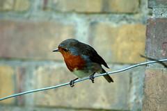 robin wire perched