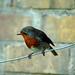 Robin o the Wire