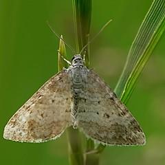 Grass Rivulet - Perizoma albulata (Walwyn) Tags: insect lepidoptera moths geometridae warwickshire larentiinae walwyn draycotemeadows perizomaalbulata profmoriartydotcom:book=51 profmoriartydotcom:book=50 profmoriartydotcom:book=49 profmoriartydotcom:book=35