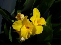 Louloudi - Flower (xwtiko) Tags: flower yellow catchycolors louloudi  kitrino