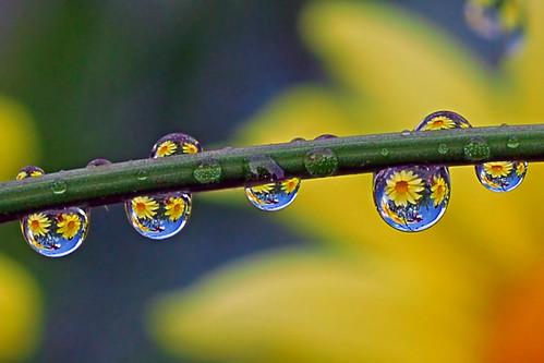 double daisy drops