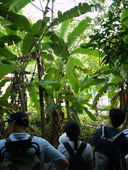 banana_plant