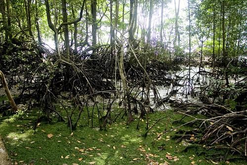 Rhizopora forest