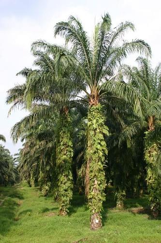 Palm plantation.