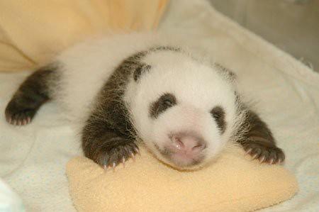 862110819 1c6e602b79 Newly Born Pandas