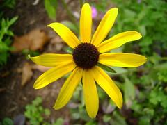 Black Eyed Susan (alcompton) Tags: flower nature blackeyedsusan