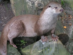 Otter (berryvantuijl) Tags: nature zoo rotterdam blijdorp oneofakind coolest globalvillage dierentuin beautifulcapture onlythebestare jalalspagesanimalkingdom berryvantuijl coolestphotographers