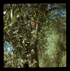Les olives - by Vanessa L